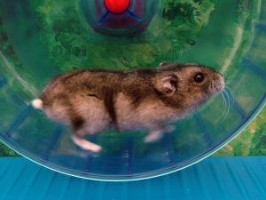 hamster300